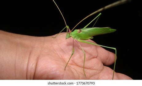 Katydid as a pet. Biologist, Exotic vet holding a green katydid, wildlife veterinarian. camouflage insects. Arthropods, invertebrates. insect, bugs, bug, animals, animal, wild nature, rainforest