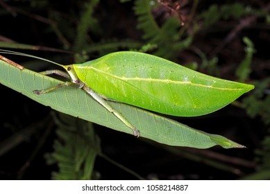 Katydid resting on the green leaf