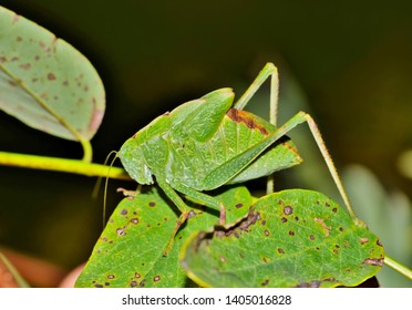 A Katydid very well disguised as a leaf as it hides in the green foliage. Image taken in Houston,