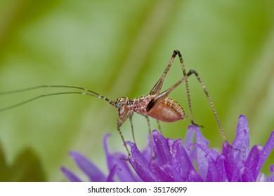 A katydid/bush cricket on purple porcupine flower