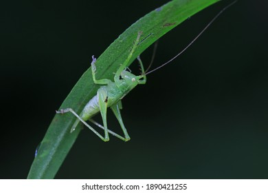 Katydids on wild plants, North China