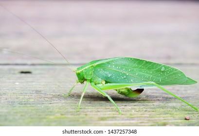 Katydids really  like a leaf