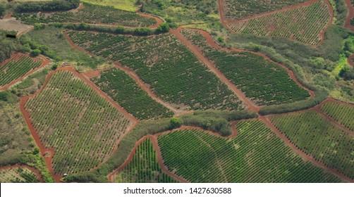 Kauai Coffee Fields From The Air