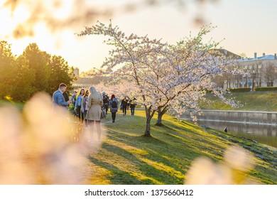 KAUNAS, LITHUANIA - APRIL 20, 2019: Beautiful cherry blossom sakura park in Kaunas Nemunas island park