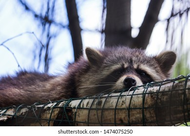 Kaunas, Lithuania - June 27, 2015: Raccoon (Procyon lotor) in Lithuanian Zoological Garden in Kaunas, the oldest scientific zoo in Lithuania.
