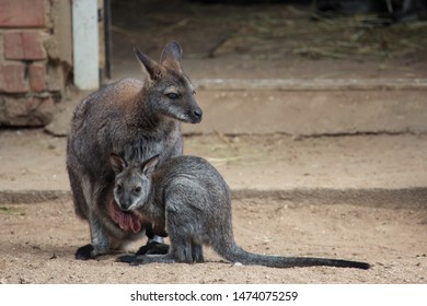 Kaunas, Lithuania - June 27, 2015: Red-necked wallaby (Macropus rufogriseus) in Lithuanian Zoological Garden in Kaunas, the oldest scientific zoo in Lithuania.
