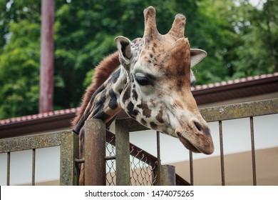 Kaunas, Lithuania - June 27, 2015: Rothschild's giraffe (Giraffa camelopardalis rothschildi) in Lithuanian Zoological Garden in Kaunas, the oldest scientific zoo in Lithuania.