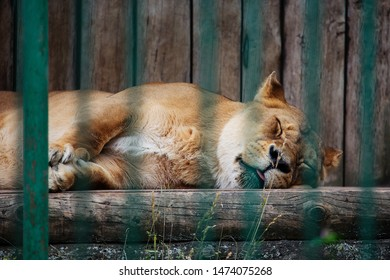 Kaunas, Lithuania - June 27, 2015: Lion (Panthera leo) sleeps in Lithuanian Zoological Garden in Kaunas, the oldest scientific zoo in Lithuania.