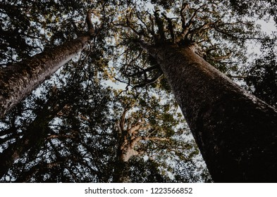 kauri trees in new zealand, trees from a frog perspective, hiking through a rain forrest, sun kissed trees, huge and large, important tree of new zealand with an history background,