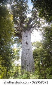 Kauri trees at the North Island of New Zealand