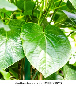 Kava. Fresh green leaves in the shape of a heart - Shutterstock ID 1088823920
