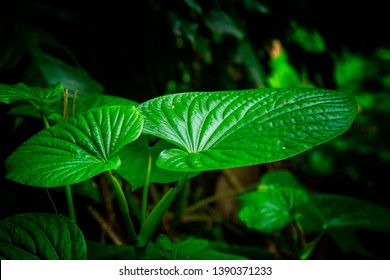Kava Leafs in selective focus image with dark background in the nature, traditional drink of South Pacific Island culture people. - Shutterstock ID 1390371233
