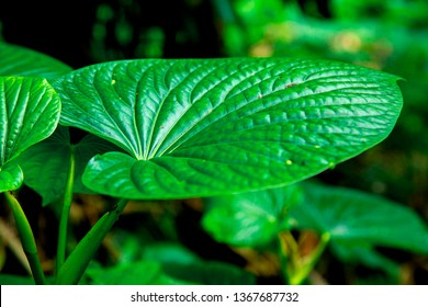 Kava Piper methysticum plant leaves outdoor from the garden use to make Kava drink of people in Pacific Ocean cultures  - Shutterstock ID 1367687732