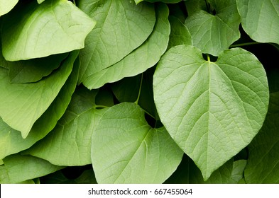 Kava plant from  Polynesia - Shutterstock ID 667455064