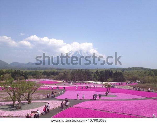 KAWAGUCHIKO, YAMANASHI, JAPAN - MAY 14, 2013 : Shibazakura Festival with the field of pink moss of Sakura or cherry blossom, Yamanashi, Japan
