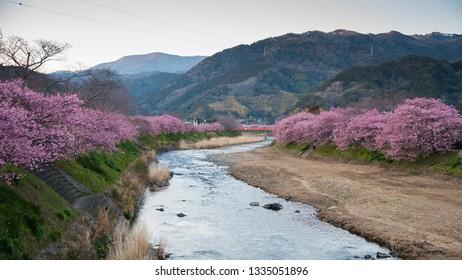 Kawazu Cherry Blossom Festival. The event celebrates the flowering of the Kawazu  Sakura blossom Cherry Trees