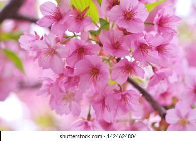 Kawazu cherry blossoms : full blooming - Shutterstock ID 1424624804