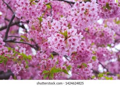 Kawazu cherry blossoms : full blooming - Shutterstock ID 1424624825