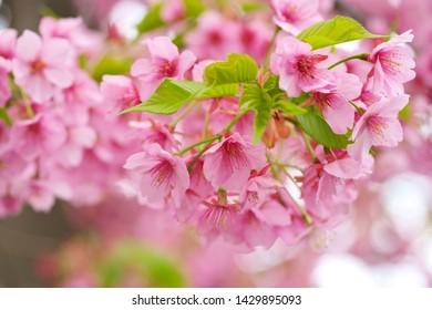 Kawazu cherry blossoms : full blooming - Shutterstock ID 1429895093
