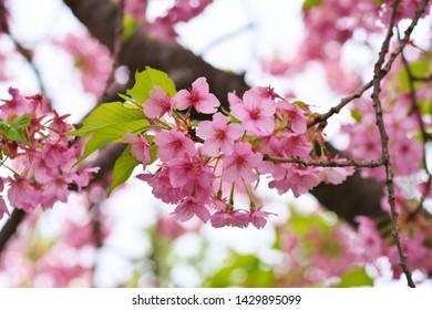 Kawazu cherry blossoms : full blooming - Shutterstock ID 1429895099