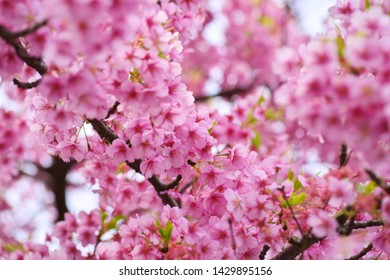 Kawazu cherry blossoms : full blooming - Shutterstock ID 1429895156