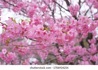 Kawazu cherry blossoms : full blooming - Shutterstock ID 1706924254