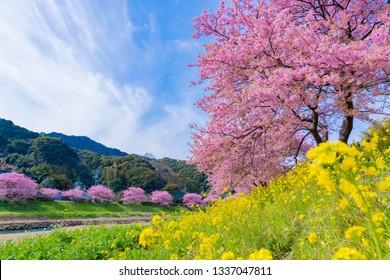Kawazu Sakura in Minamiizu-cho, Kamo-gun, Shizuoka Prefecture