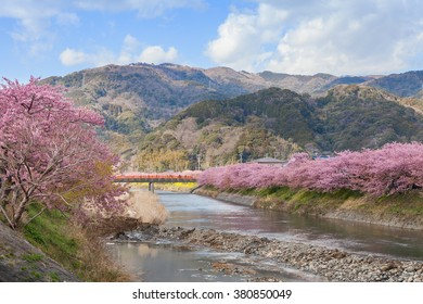 The Kawazu-zakura cherry blossoms, the most famous early flowering variety of cherry blossoms, at Kawazu riverside, Shizuoka, Japan. This place is the most famous Kawazu-zakura viewing spot in Japan.