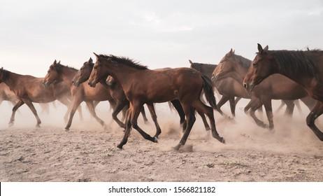 Kayseri, Turkey - November 2019: Horses running and kicking up dust. Yilki horses in Kayseri Turkey are wild horses with no owners