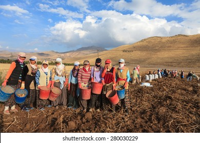 KAYSERI,TURKEY-October 31,2009 : Uidentified women and men harvest potatoes in the field as a seasonal worker in agricultural production  sector in Anatolia, Develi , Turkey Country
