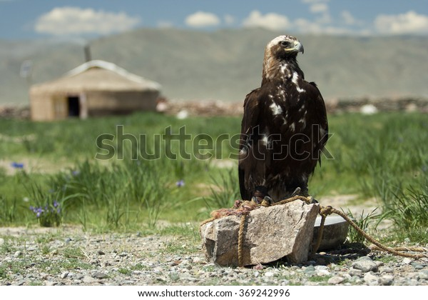 A kazakh yurt and a hunting eagle in front of it, summer time, western Mongolia.