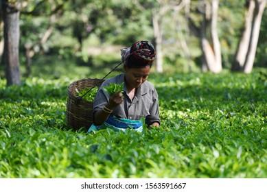Kaziranga, Assam, India. 12 November 2019. Woman workers pick leaves at a tea garden at Kaziranga, in Golaghat district of Assam.