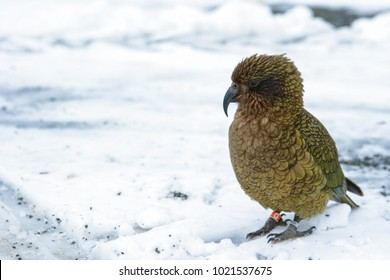 Kea along the road to Milford Sound