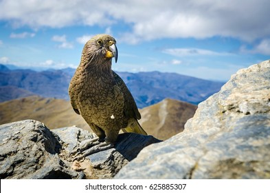 Kea bird on ben lomond peak