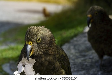 """The kea , so called """"The clown of the mountains"""" ,  is a large parrot found in forested and alpine regions of the South Island of New Zealand"""