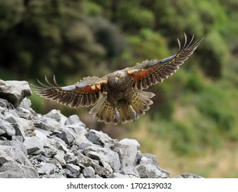 Kea in Flight high in the Southern Alps of New Zealand