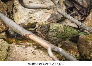 The kea, a green parrot with long curved beak from New Zealand standing on a rock drinking water. Branches around.