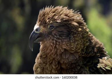 Kea (Nestor notabilis) in New Zealand