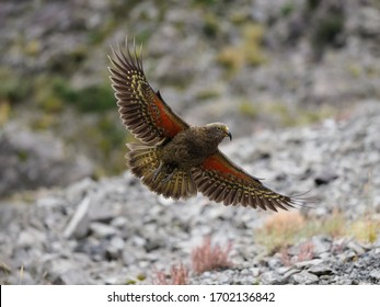 Kea (Nestor notabilis), a unique and large Alpine Parrot, photographed high in the Southern Alps of New Zealand