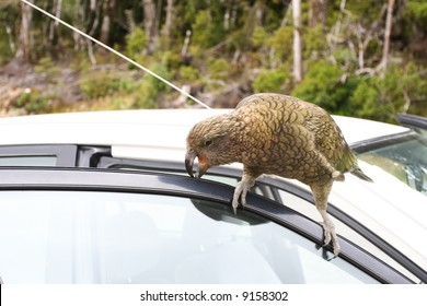 Kea - NZ Mountain Parrot, Vandalising a tourist's car