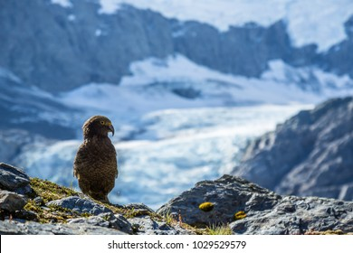 The kea, the only alpine parrot in the world, is an endangered bird living in the alpine environment of the South Island of New Zealand