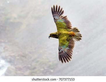 Kea, Parrot of the Alps