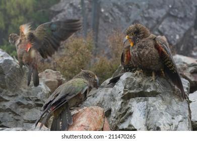 Kea Squawking