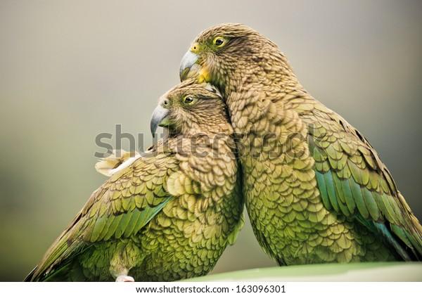Kea (альпийские Попугаи), сидящие вместе, Национальный парк Артурс Пасс, Новая Зеландия (