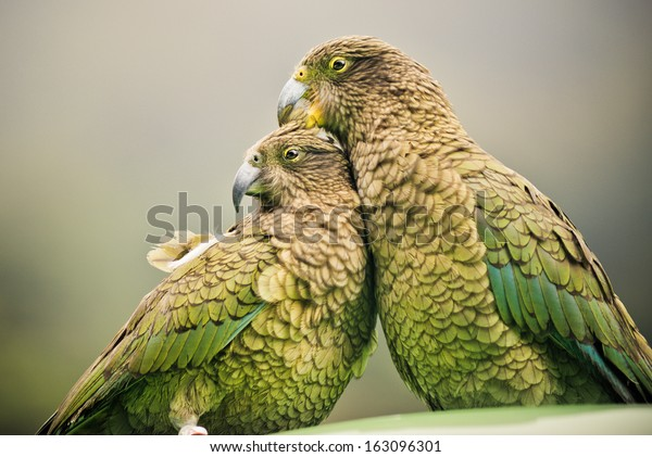 Kea's (Alpine Parrots) sitting together, Arthurs Pass National Park, New Zealand (