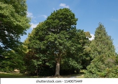 Keble Oak Tree (Quercus canariensis x robur) in a Garden in Rural Somerset, England, UK