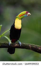 Keel billed toucan, wildlife of Costa Rica