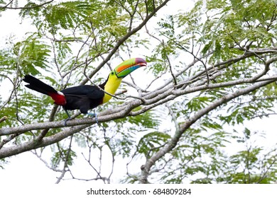 keel billed tucan perched on a tree in the rainforest of Costa Rica