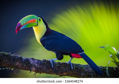 Keel-billed toucan with bright green beak and background
