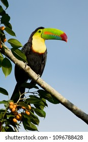 Keel-billed toucan, also known as sulfur-breasted toucan or rainbow-billed toucan, is a colorful Latin American member of the toucan family. It is the national bird of Belize.